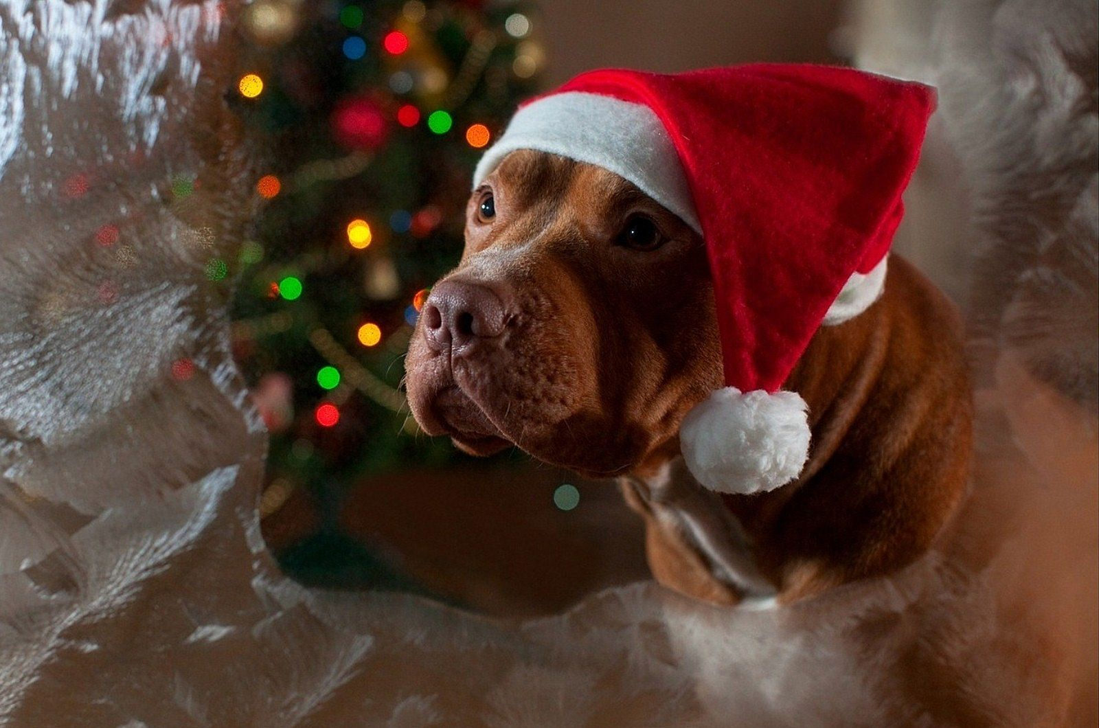 Beautiful Christmas Photo Pidbul Dog Breed In A Funny Hat